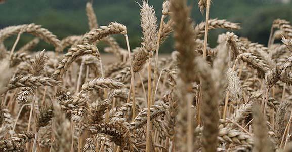 Borlaug: raddraaier van de redelijkheid